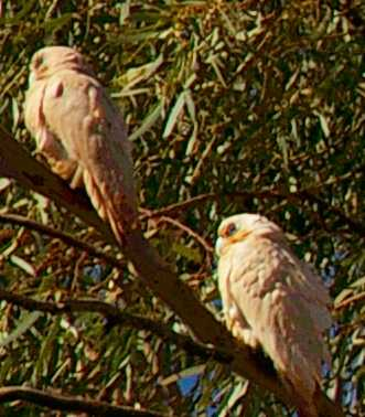I have seen other flocks at fortescue crossing garden for Garden pool nullagine